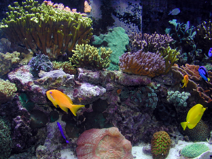 Even well established thriving reef systems, like the one pictured here, can develop outbreaks of Cyano bacteria. This is most likely when sound husbandry practices are neglected.