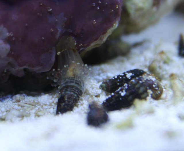 Corallimorphids are capable of causing some mischief in the reef aquarium. Credit: gagonzalez