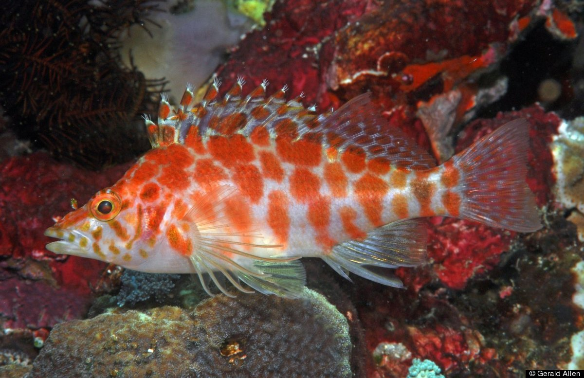 Obscure reef creatures the cave hawkfish cirrhitichthys for Alor group piscine